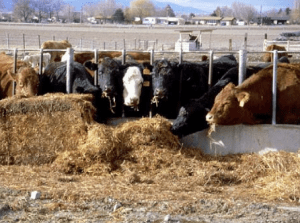 Ammoniation reduces the fiber in poor-quality forages like straw making it more digestible. The ammonia also increases crude protein.