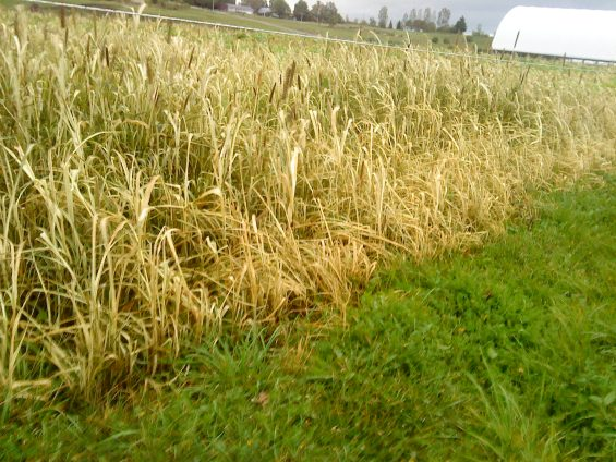 Here it is after first frost (Sept 19, 2014), end of the line!