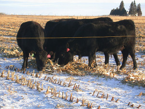Cows grazing on corn swaths in the winter snow in North Dakota. ARS researchers at the Northern Great Plains Research Laboratory have found that Northern Plains farmers can save money by allowing cows to swath graze throughout the winter. Various rotations of forages and legume-grass mixtures, when swath grazed, can provide protein-rich mixtures that can help beef up pregnant cows. Photo courtesy of the USDA ARS