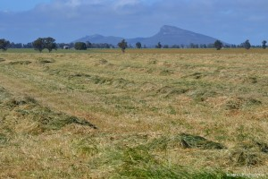 This is a picture of hay in a field in Australia showing that we ALL fear rain on our hay!