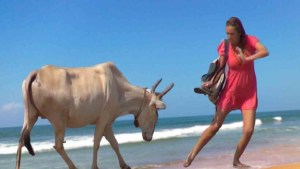 This cow on a beach in India is telling this tourist that she's walked up too close. See how the tourist is doing the right thing, turning sideways and moving diagonally away from the cow. I'm betting she didn't even have training in this. It just came naturally to her when she saw the horns headed her way.
