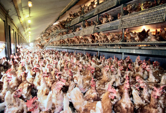 What cage-free hens look like.
