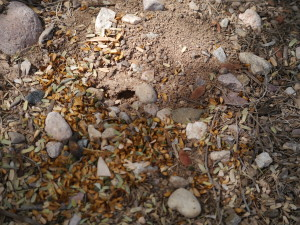 Here's a good example of the material the ants pile up outside their door. Now they're waiting for nightfall to haul it inside. Interestingly, once they seem to cover the entrance to their home once they've brought in a big haul for the fungus. They come out again later when they need more fungus food.