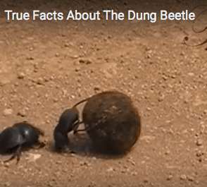 True Facts About the Dung Beetle