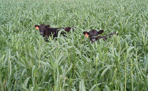 Calves grazing on a summer cover crop of pearl millet. ARS scientists conducted studies on cover crops and cattle grazing and found that moderate grazing does not significantly affect the amount of organic matter in the soil.