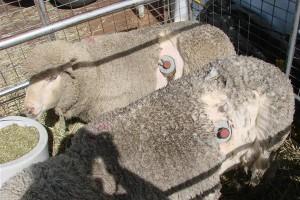 Sheep with cannula