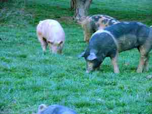 We try to take our cues from nature. In the Mid-Atlantic, grazing, foraging and gleaning opportunities present themselves nearly year-round. Pigs are perfectly suited for our farm.