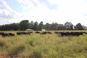 Beef Cattle grazing Mojo Crabgrass in North Carolina