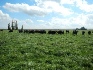 Fescue without legumes