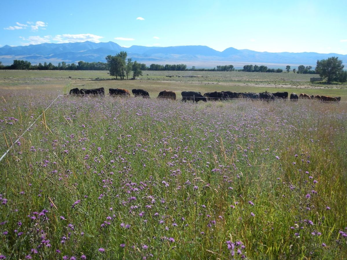 High Density Grazing for Spotted Knapweed Suppression