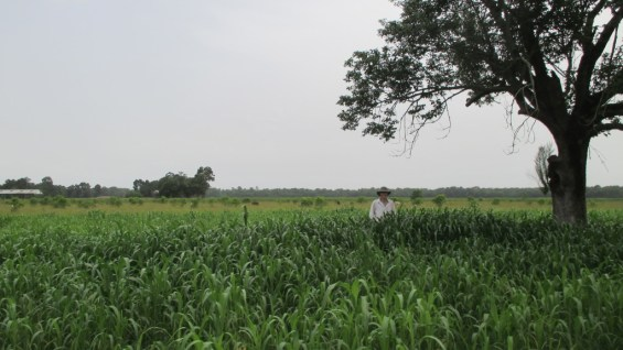 My husband Donald in Sorghum-Sudan Grass June 21.