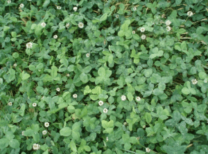 I can't overemphasize that clover can be seeded too thickly and get too dense. Too much clover can mean serious bloat issues!