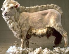 How and When to Shear a Sheep – On Pasture