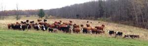 Megs Cattle