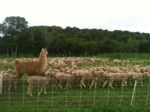 Llama guarding sheep. Photo courtesy of Farm Friendly Neighbor.