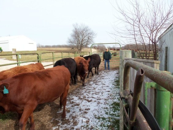 Sorting cows from their calves.