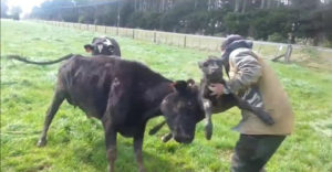 This fellow is getting first hand experience with the dangers of ear tagging a new born calf.