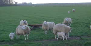 Sheep on the Isle of Texel. Photo courtesy of Wikipedia