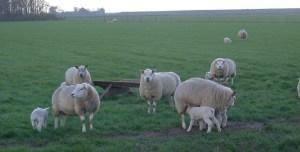 Sheep on the Isle of Texel. Photo courtesy of Wikipedia