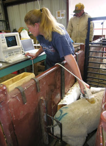 Technician Tracy Northcutt uses diagnostic ultrasound to determine fat level and muscle development of lambs.