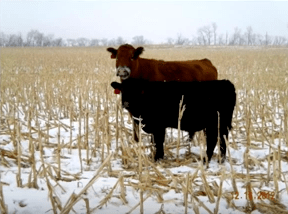 Heifers stay with Mom through the winter.