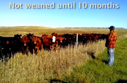 Not Weaned Until 10 Months Sand Ranch