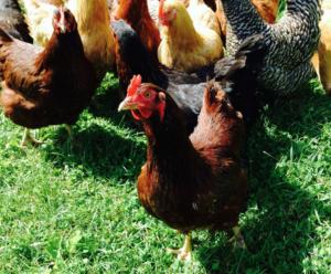 Sap Bush Hollow Farm's chickens
