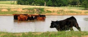 cattle.cooling.off