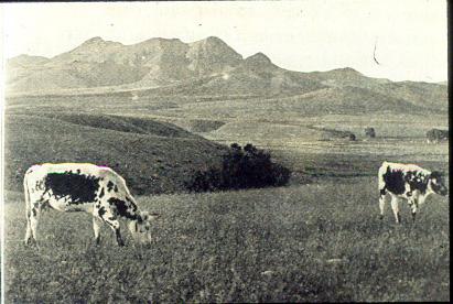 longhorn_scene