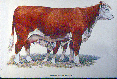 modern_hereford_cow