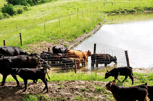 Ryan Collins has 35 cow/calf pairs grazing his 170 acres near Harpers Ferry in northeast Iowa. They use this fenced access ramp to water for three paddocks. Photo: Jason Johnson.