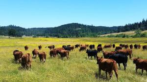 Heifers at Spencer Shadow Ranch chowing down on a fresh meal of hawksbeard (yellow) and mixed pasturage.