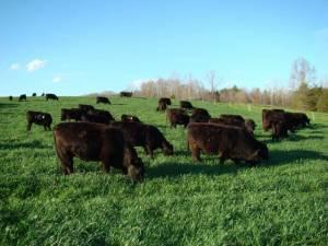 Cattle grazing triticale