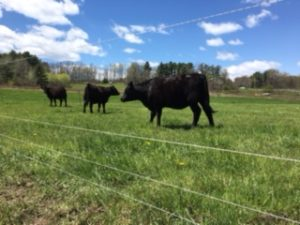 Slingerland beeves add to the farm's diversity and income.