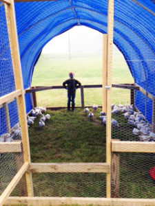 Broilers in their Hoop House