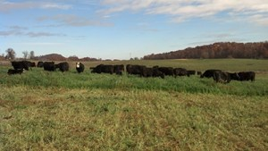 Fall grazing of Oats and Rye. Photo courtesy of Virgina Cooperative Extension.
