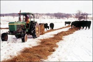 feeding-unrolled-haybales