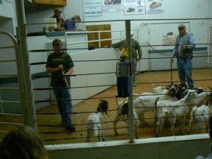 goats-at-auction