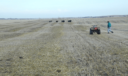 Figure 3. Cattle are only given enough forage for 1-2 days of grazing. Previously given swaths are re-grazed such that approximately 90% of the swath is consumed. Photo by T. Gompert.