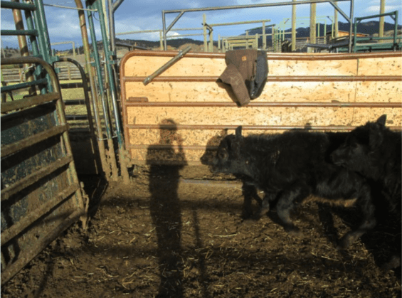 cattle-dont-balk-at-shadows-or-coats