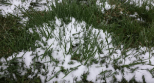 grass-with-snow