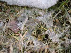 Grey snowmold. Photo courtesy of gardeningafterfive.worpress.com