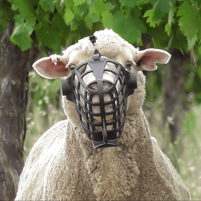 Sheep Can Now Safely Graze Vineyards On Pasture