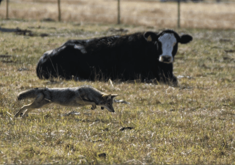 cattle_and_coyote
