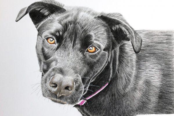 Chloe the Labrador retriever mix