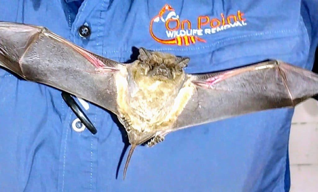 Bat Infestation Removal