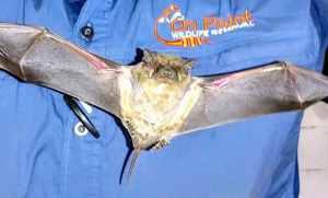 Bat Infestation Removal in Melbourne, Floirda.
