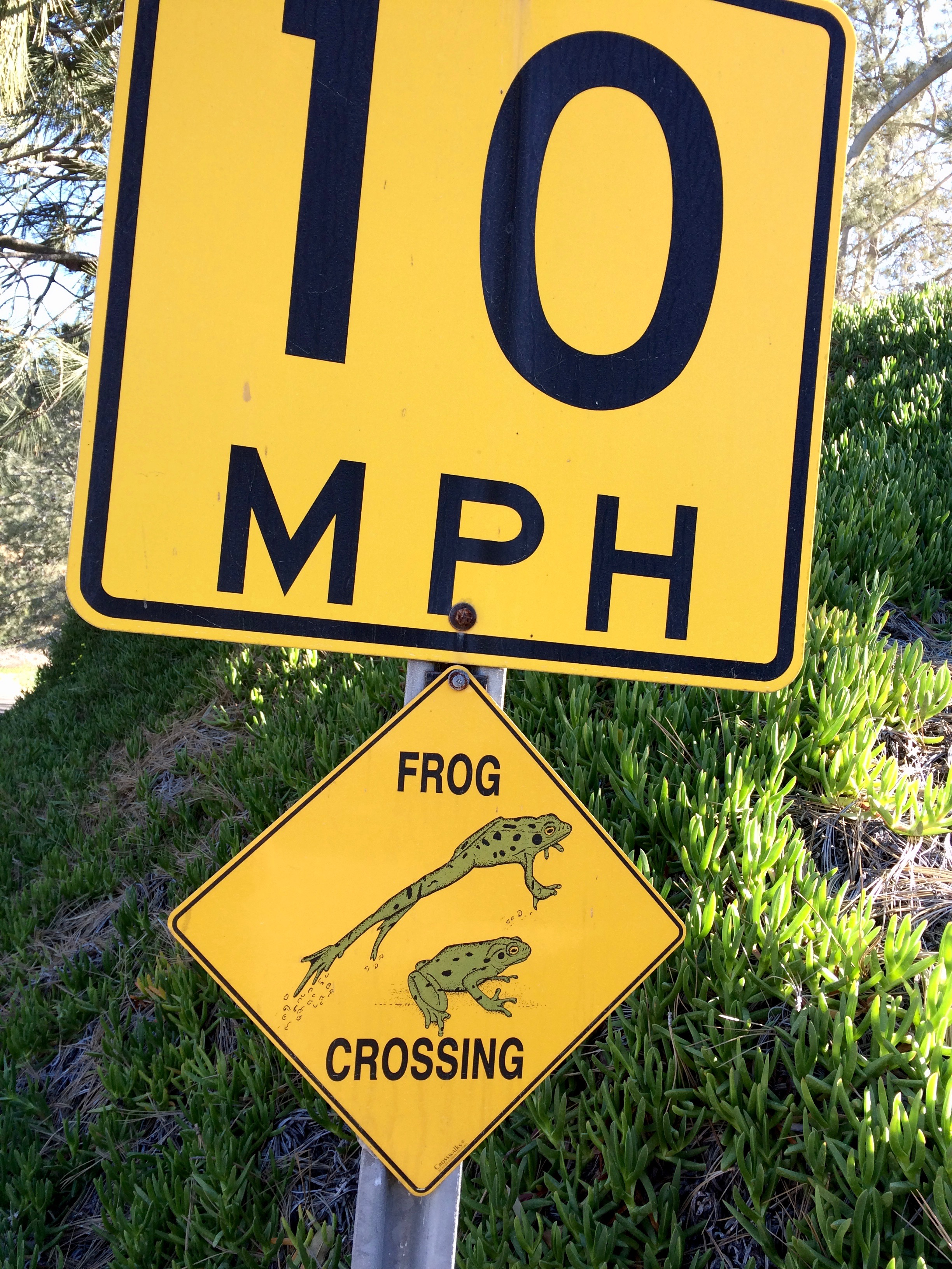 Frogs are clocked at 15 mph in Del Mar, so this keeps them safe