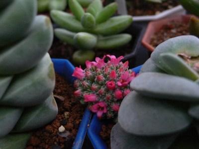 クラッスラ 呂千絵の花