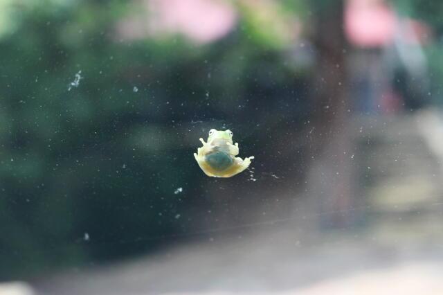 ガラス越しのカエル